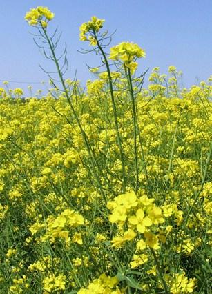 C 39 erano fiori gialli allappante - Settembrini fiori ...